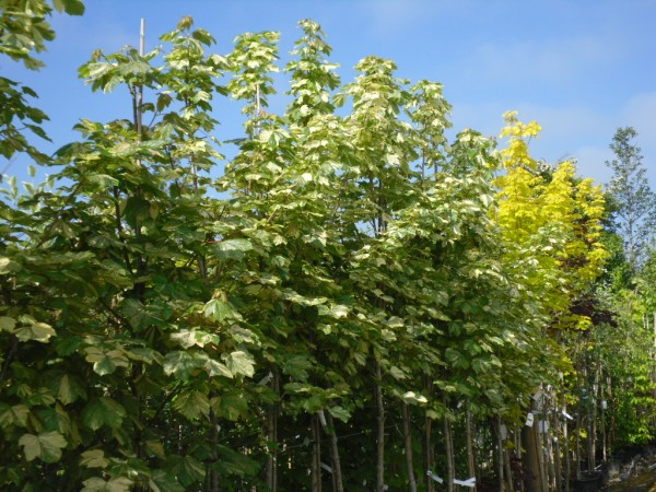 Acer Pseudoplatanus Prinz Handjery Tree From Dunwiley Nurseries