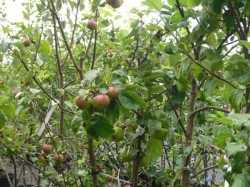 Malus domestica 'Discovery' avilable from Dunwiley Nurseries, Stranorlar, Donegal.