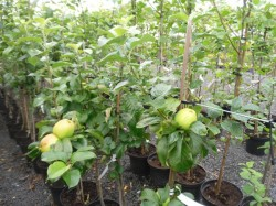 Malus domestica 'Rev. W. Wilks' available from Dunwiley Nurseries, Stranorlar, Donegal.