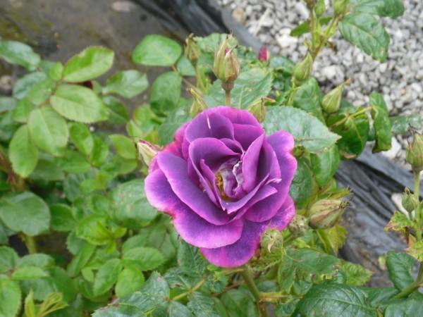 rosa rhapsody in blue