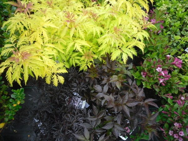 sambucus racemosa 39 plumosa aurea 39 sambucus nigra 39 black. Black Bedroom Furniture Sets. Home Design Ideas